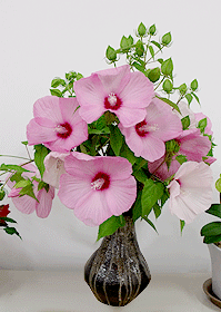 タイタンビカス切り花