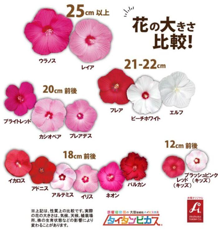 タイタンビカス 花の大きさ比較