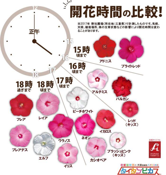 qr0120タイタンビカス開花時間の比較