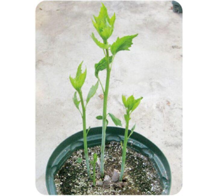 タイタンビカス芽吹き